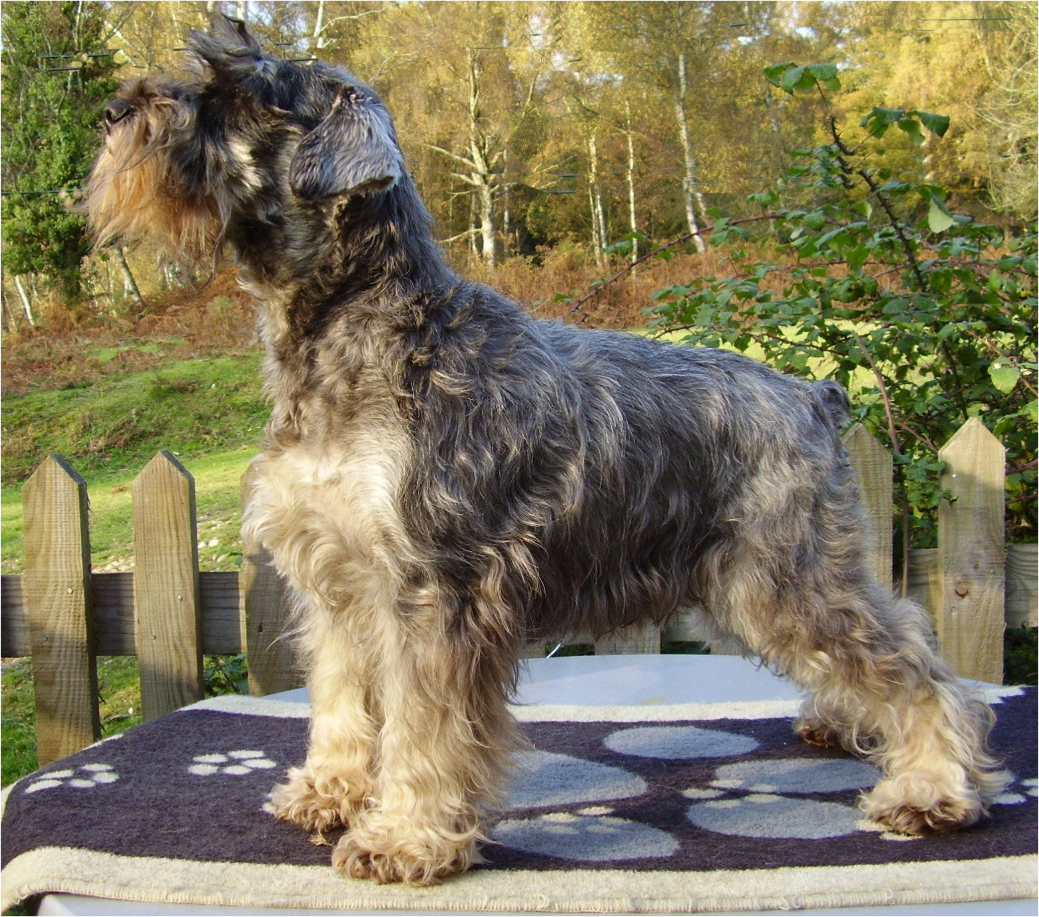 Typical Bretforton Miniature Schnauzer - Starbound Take a Chance with Bretforton
