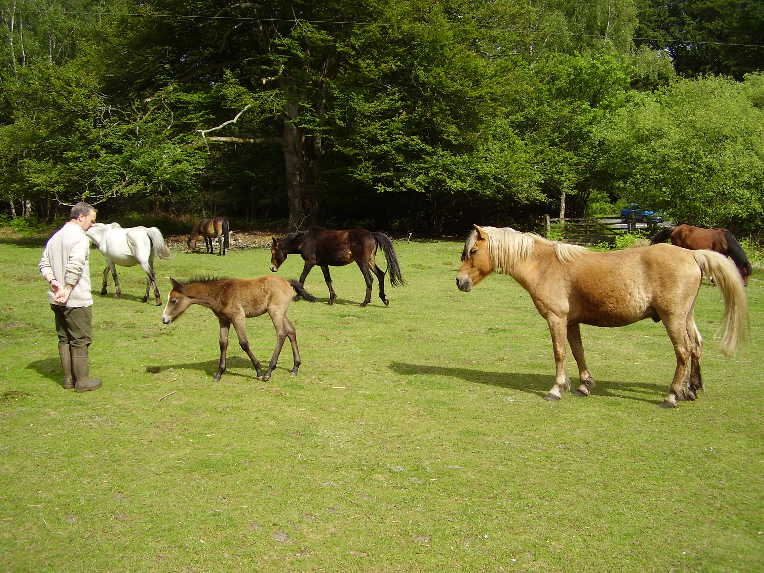 New Forest Ponies outside the back gate